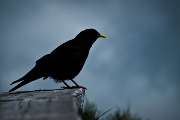 Black bird by DIDIER BAERTSCHIGER edited
