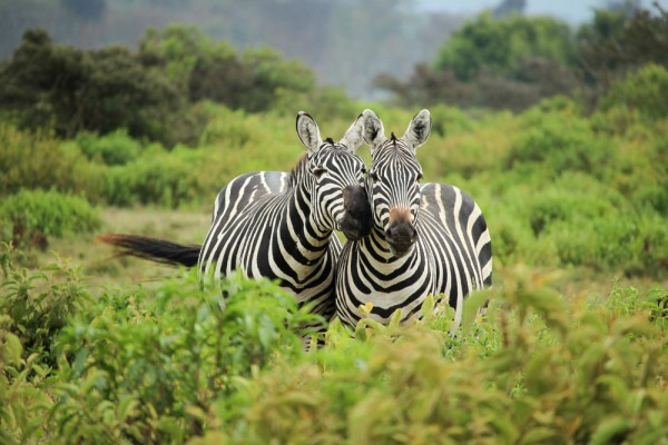 Couple of zebras by Lisa H from Unsplash.com